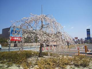 20140412開成山桜(その2)