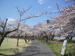 20140412開成山桜(その3)