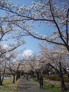 20140412開成山桜(その4)