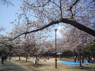 20140412開成山桜(その5)