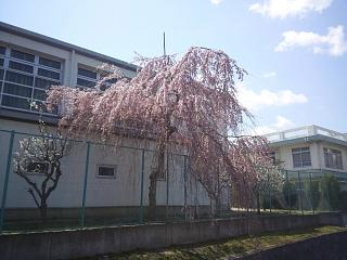 20140412開成山桜(その6)