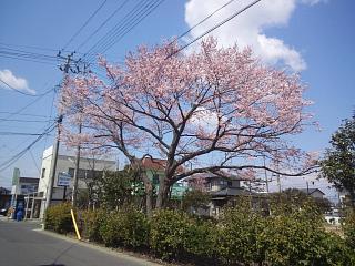 20140412開成山桜(その7)