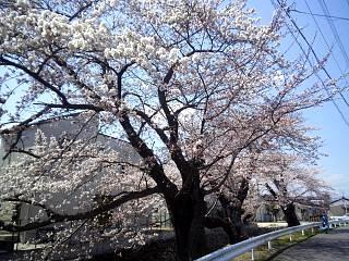 20140412開成山桜(その9)