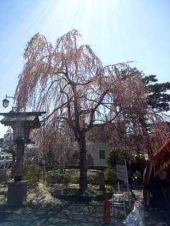 20140412開成山桜(その10)