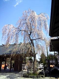 20140412開成山桜(その12)