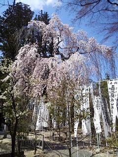 20140412開成山桜(その14)