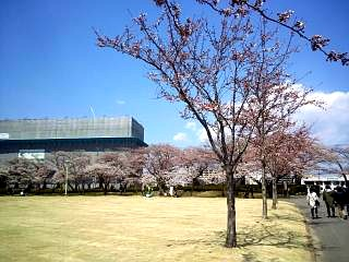 20140412開成山桜(その20)
