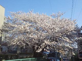 20140414郡山の桜(その1)