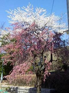 20140414郡山の桜(その2)