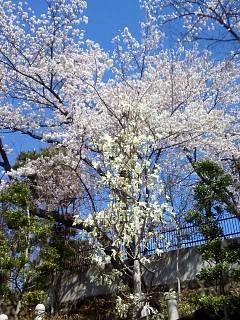 20140414郡山の桜(その3)