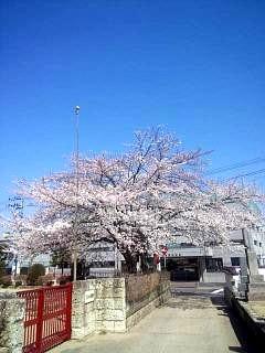 20140414郡山の桜(その5)