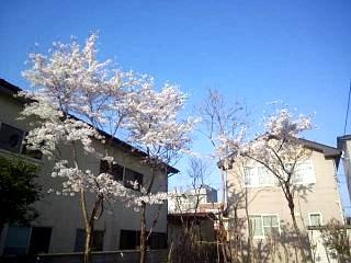 20140416桜(その1)
