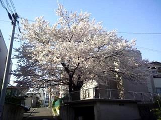 20140416桜(その3)