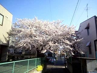 20140416桜(その4)