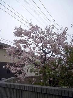 20140418通勤路の桜(その1)