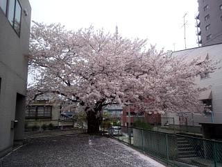 20140418通勤路の桜(その2)