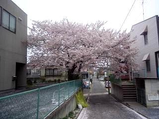 20140418通勤路の桜(その3)