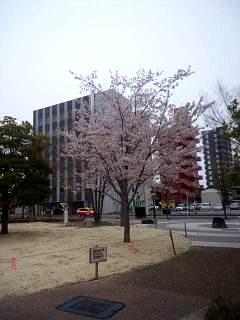 20140418通勤路の桜(その4)