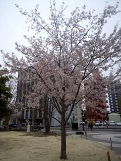 20140418通勤路の桜(その5)