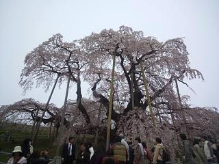 20140418三春の滝桜(その7)