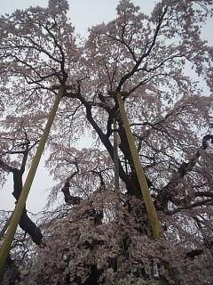 20140418三春の滝桜(その8)