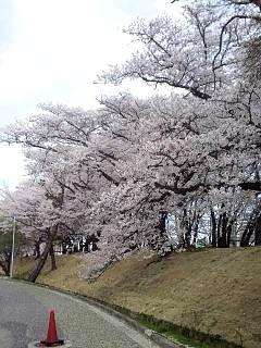 20140419通勤路の桜(その5)