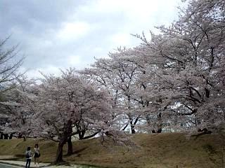 20140419通勤路の桜(その6)