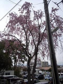 20140420開成山大神宮桜(その7)