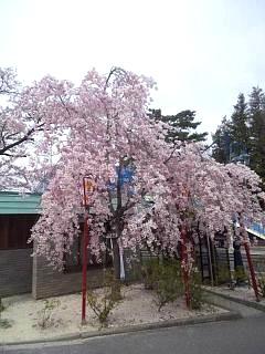 20140420開成山大神宮桜(その8)