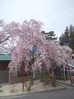 20140420開成山大神宮桜(その9)