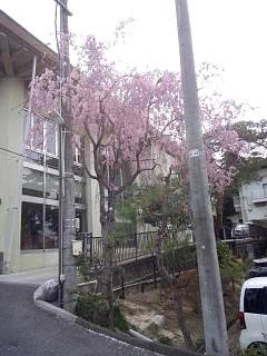 20140420開成山大神宮桜(その10)
