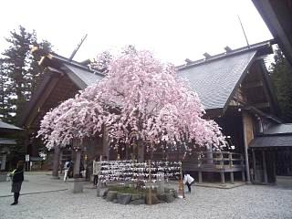20140420開成山大神宮桜(その11)