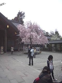 20140420開成山大神宮桜(その13)