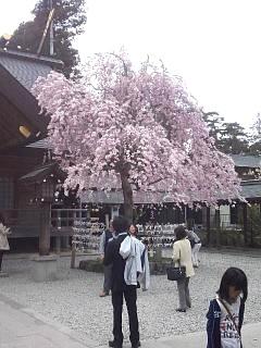 20140420開成山大神宮桜(その14)