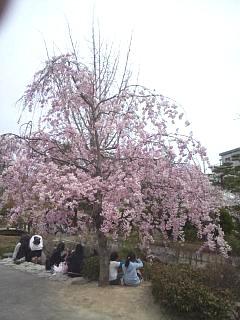 20140420開成山大神宮桜(その17)