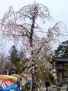 20140420開成山大神宮桜(その18)