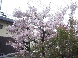 20140420桜