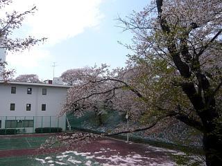20140419通勤路の桜(その3)