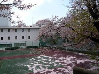 20140419通勤路の桜(その4)