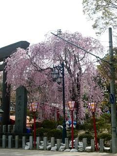 20140420開成山大神宮桜(その4)