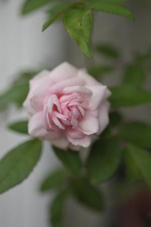 rose20141001-1.jpg