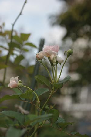 rose20141001-3.jpg