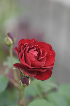 rose20141001-5.jpg