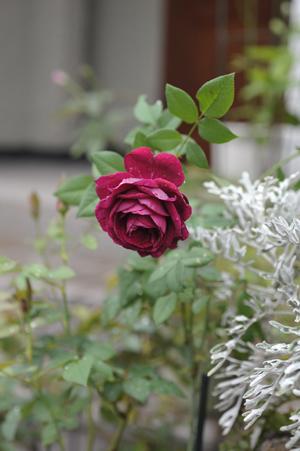 rose20141002-1.jpg
