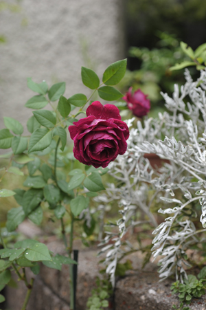rose20141002-2.jpg