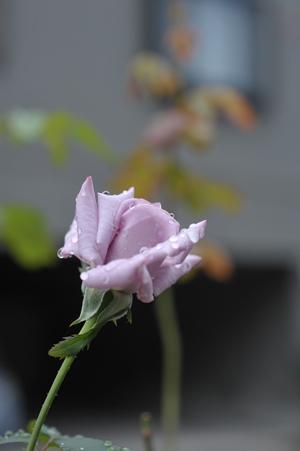 rose20141002-3.jpg