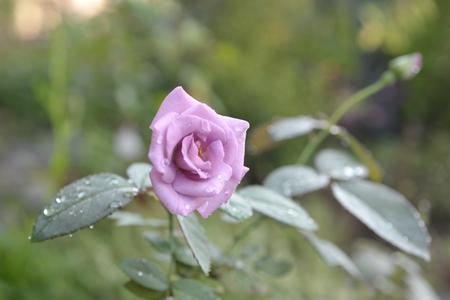 rose20141003-2.jpg