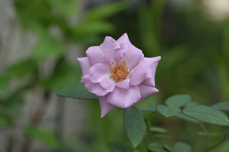rose20141003-2a.jpg