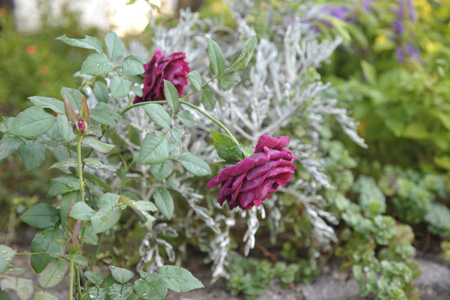 rose20141003-3.jpg