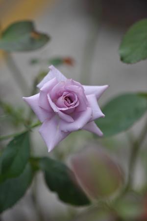 rose20141003-5.jpg